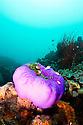 Pink anemonefish (Amphiprion perideraion) in brilliant purple anemone (Heteractis magnifica)  Milne Bay Province, Papua New Guinea.