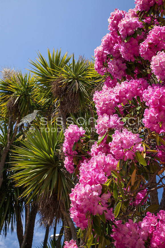Pink Rhododendron and Cabbage tree, New Zealand - stock photo, canvas, fine art print