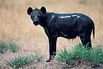 Hyena Crocuta crocuta covered in mud keeping cool africa.Kenya....