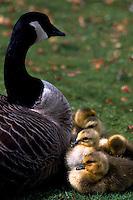 Canada Geese (Branta canadensis) - Canada Goose Parent Bird protecting Gaggle of Young Goslings