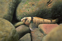 Yoke Darter<br />