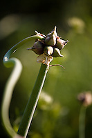 CONTAINER 2: Allium sativum var. ophioscordon, serpent garlic..