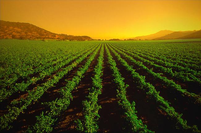 Vineyard scene in Napa Valley, California
