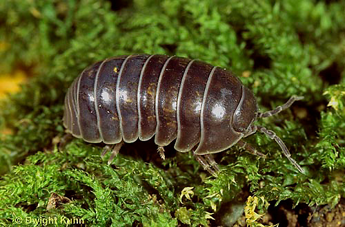 1Y33-013z  Pill Bug - uncurled
