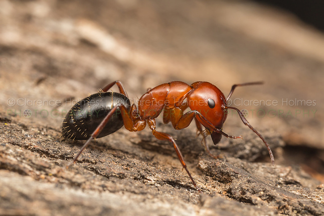 A Carpenter Ant (Camponotus Sayi) explores the bark of a tree.