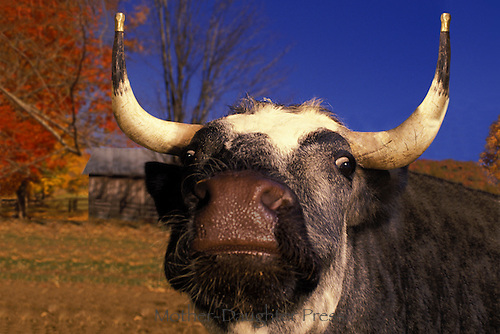 Longhorn Bull with gold tipped horns looking wild eyed