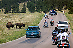 .A small herd of Buffalo crossing the road in Custer State Park, South Dakota.