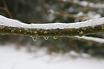 Winter scenes of snow covered trees, limbs and melting snow.  Jim Bryant Photo. ©2010. All Rights Reserved.