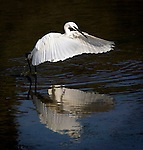 Little Egret, Egretta garzetta, on the Tolka River, Dublin