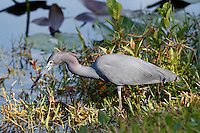 Little Blue Heron, Everglades National Park, Florida