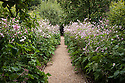 Pink lilies and Japanese anemones in the Pear Walk at Clinton Lodge Garden, Fletching, East Sussex, early August.