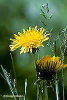 Dandelions -  Life Cycle