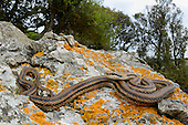 Four-lined Snake (Elaphe quatuorlineata), Cres island, Croatia