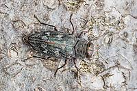 A Metallic Wood-boring Beetle (Chrysobothris rugosiceps) perches on the trunk of a fallen oak tree.