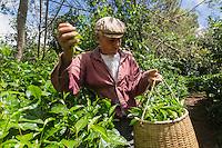 France, &icirc;le de la R&eacute;union, Saint-Joseph, Grand Coude: Plantation de th&eacute;: le labyrinthe en-champ-th&eacute;, cueillette du th&eacute; blanc  //  France, Reunion island (French overseas department), Saint Joseph, Grand Coude, picking white tea <br /> <br /> Auto N&deg;: 2014-114