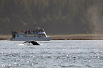 North America, USA, Alaska, Juneau. Whale Watching near Gastineau Channel.