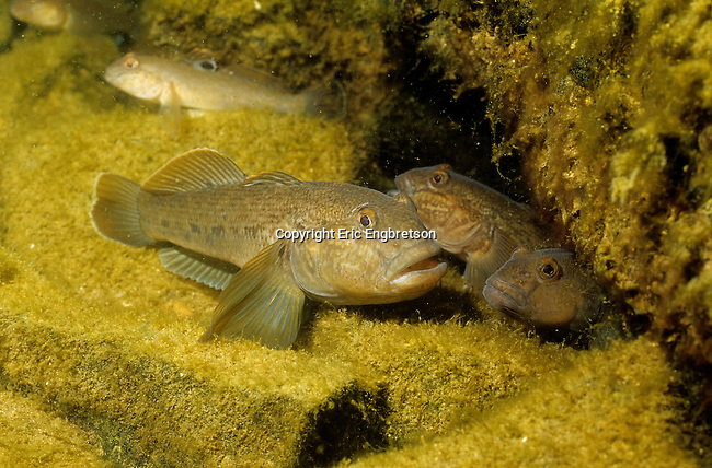 how to get rid of round goby