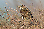 A song sparrow perches in the bare branches of a bush