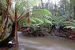 Dicksonia antarctica, Mt Field National Park, Tasmania