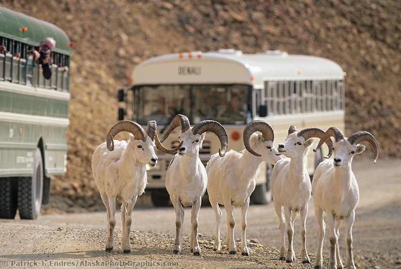 Dall sheep rams, Denali Park road, tourists watch from Park buses, Polychrome Pass, Denali National Park, Alaska.