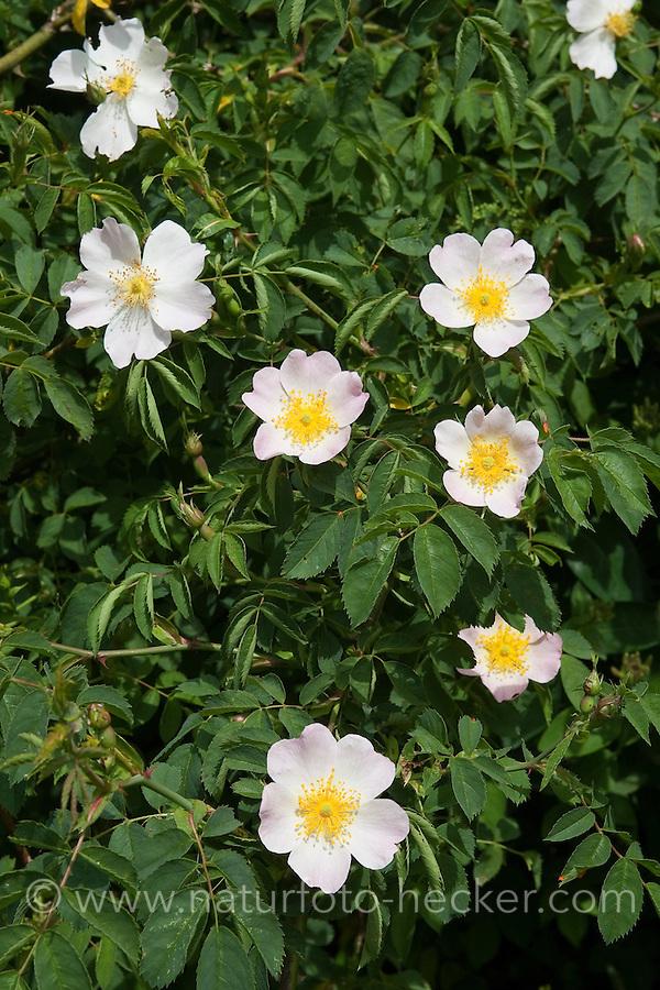 Hunds-Rose, Hundsrose, Rose, Rosa canina, Dog Rose, Common Briar