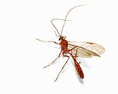 Ichneumon Wasp.