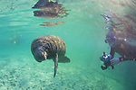 Taking Photos Of Manatee, Three Sisters Spring