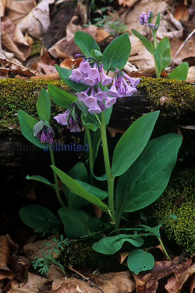Virginia Bluebells flowering on the forest floor in front of a mossy decaying log ,Mertensia virginica, Eastern North America.