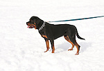 California, Lake Tahoe: Young Rottweiler dog 15 month old in the snow at  North Lake Tahoe Regional Park.  Photo copyright Lee Foster.  Photo # cataho107605