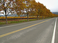 Trees with golden leaves line Oakville Cross Road north of Napa in California's wine country.