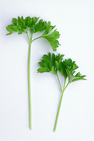 Flatleaf Parsley herb sprigs cut, on white background