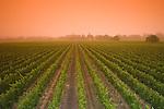 Vineyard at sunrise in fog near Yountville, ca