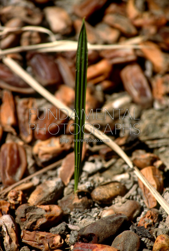 TREES - PLANTS<br /> Date Palm Seedling<br /> Southern CA