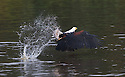 African Fish Eagle (Haliaeetus vocifer) in flight in Akagera, Rwanda