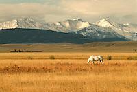 Horses (Equus caballus), Crazy Mountains, Front Range, Montana