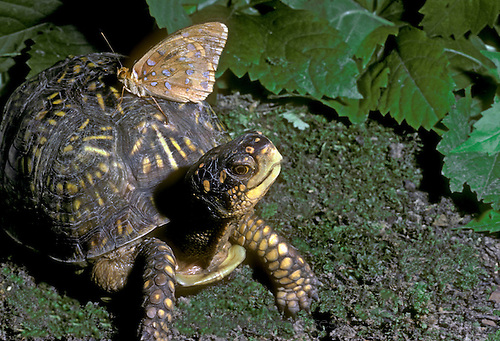 Female ornate box turtle with fritillary butterfly on her shell warming up