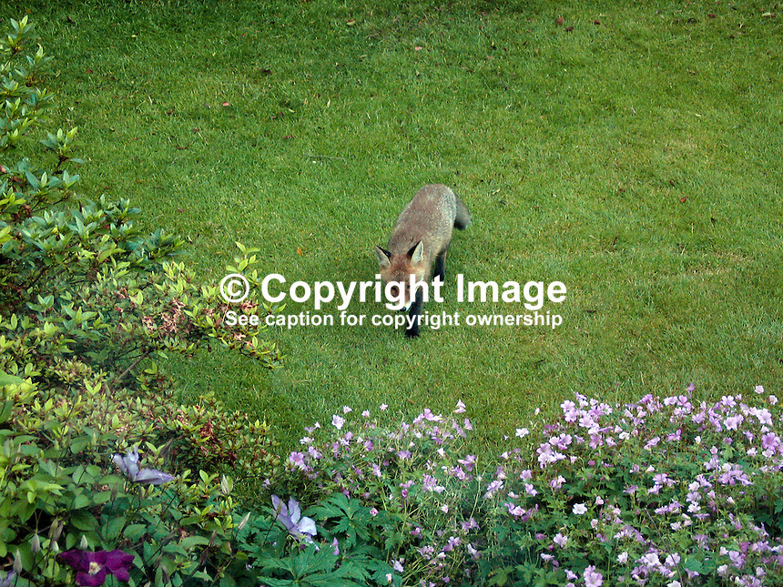 Young fox in garden at Dorchester Park, Belfast, N Ireland. 200706230044..Copyright Image from Victor Patterson, 54 Dorchester Park, Belfast, UK, BT9 6RJ..Tel: +44 28 9066 1296.Mob: +44 7802 353836.Voicemail +44 20 8816 7153.Skype: victorpattersonbelfast.Email: victorpatterson@mac.com.Email: victorpatterson@ireland.com (back-up)..IMPORTANT: If you wish to use this image or any other of my images please go to www.victorpatterson.com and click on the Terms & Conditions. Then contact me by email or phone with the reference number(s) of the image(s) concerned.