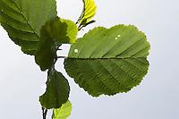 Schwarzerle, Schwarz-Erle, Schwarz - Erle, Blatt, Blätter vor blauem Himmel, Alnus glutinosa, Common Alder, Aulne commun