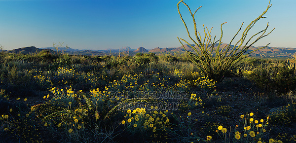 Ocotillo and Desert Marigold, Chihuahuan desert, Big Bend National Park,Texas, USA