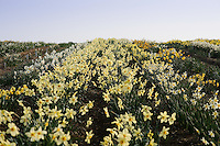 General view of daffodil fields - Narcissus 'Bath's Flame' in the middle