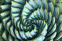 Spiral Aloe, A. polyphylla