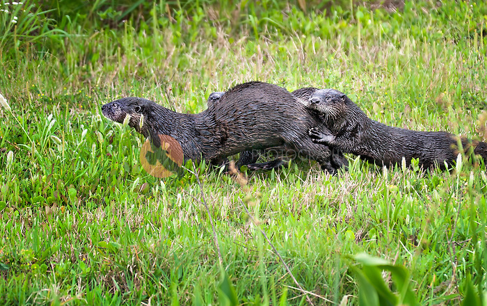 River Otter Family running along river bank in Viera Florida