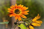 Velvet Queen Sunflower blooming in the garden