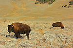Bison at Sunrise, Lamar Valley, Yellowstone National Park, Wyoming