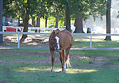 Bill Badgett's pony Rocky, goes about his business.