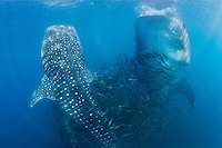 QT1174-D. Whale Sharks (Rhincodon typus), gulp feeding on plankton. Baja, Mexico, Sea of Cortez, Pacific Ocean.<br /> Photo Copyright &copy; Brandon Cole. All rights reserved worldwide.  www.brandoncole.com