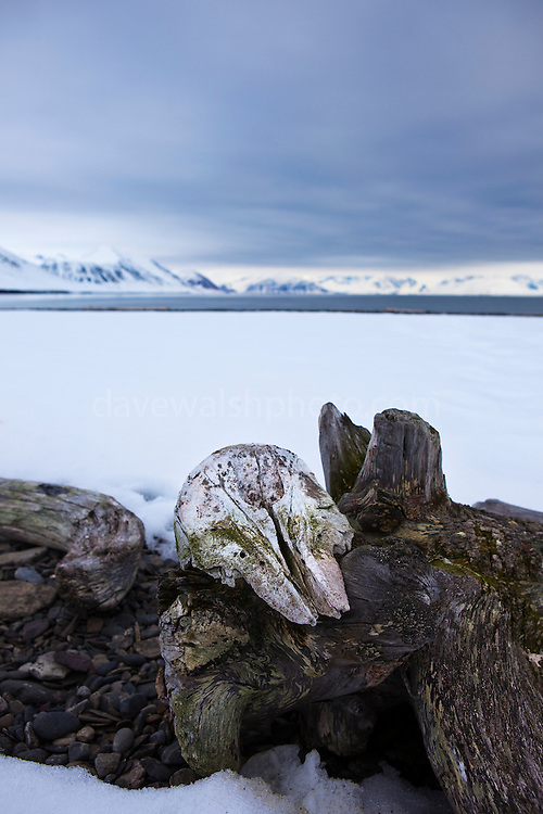 Whale skull, possibly a beluga, on a piece of driftwood, near Mushamna trapping station, Woodfjorden, Svalbard.<br />