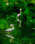 Two Great Blue Heronos stand in the shallow water looking for fish.
