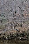 Bare winter tree on the Eno River, Eno River State Park, North Carolina
