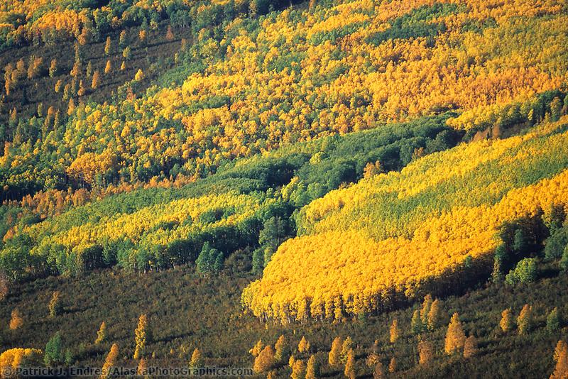 Autumn boreal forest of spruce, birch and aspen trees, Fairbanks, interior, Alaska.